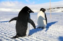 Adélie Penguins, on the sea ice road to Cape Evans, Antarctica. © A. Padilla